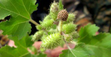 Дурнишник: лечебные свойства и противопоказания, применение