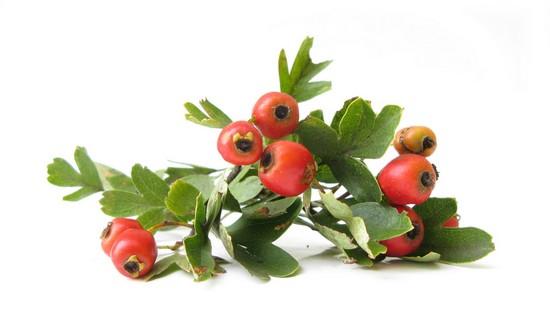 Укрепить сосудистые стенки помогут боярышниковые плоды