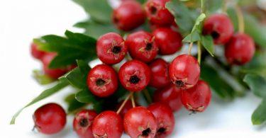 Плоды боярышника: полезные свойства