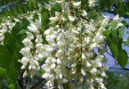 Софора японская: лечебные свойства и противопоказания (польза и вред)